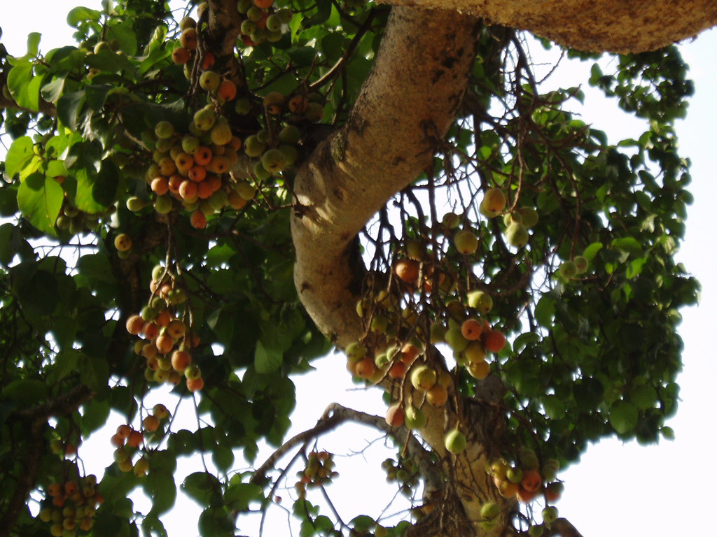 Mukuyu tree and its fruit | The old Mukuyu tree (ficus ...