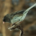 Junco ~ Female
