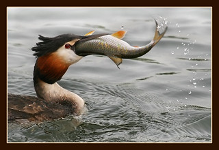 Greedy Grebe.. | by hvhe1