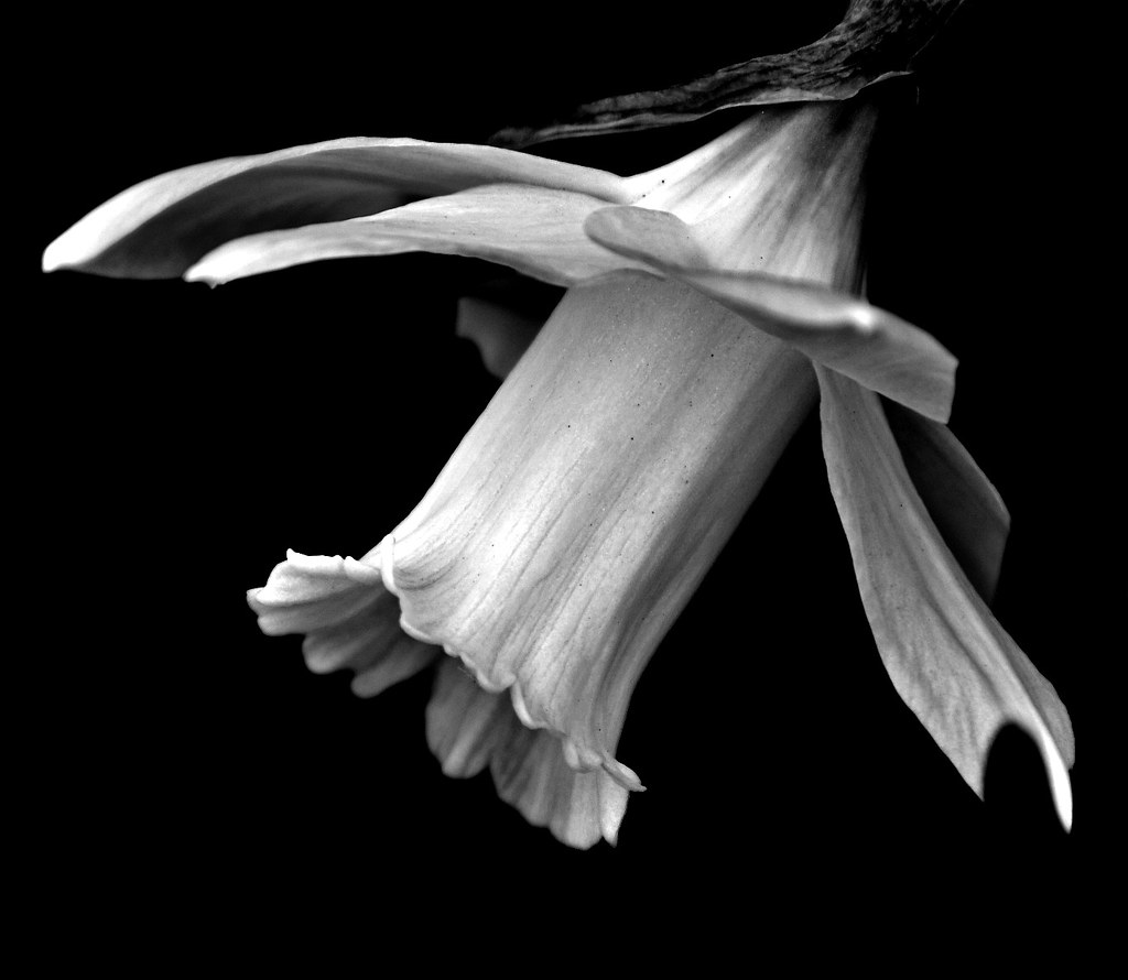 Daffodil in Black & White | I have been away since, last ...