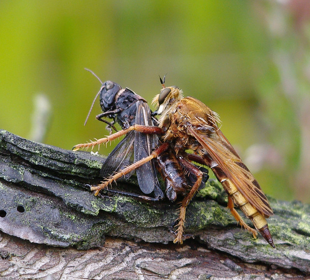 hornet robber fly eating cricket 2