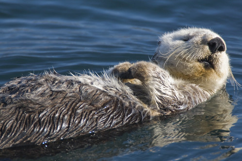 Adult Sea Otter (Enhydra lutris)  in Morro Bay, CA | by mikebaird