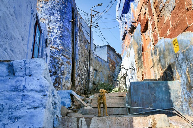 A dog in a alley of blue houses in old city, Jodhpur, India ジョードプル 青い壁の民家が並ぶ路地の犬