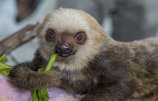 Hoffmann's two-toed sloth Gamboa Wildlife Rescue pandemonio 2017 - 10 | by Eva Blue
