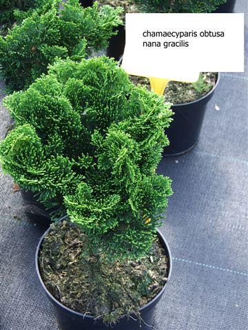 chamaecyparis obtusa nana gracilis mp plant di martin. Black Bedroom Furniture Sets. Home Design Ideas