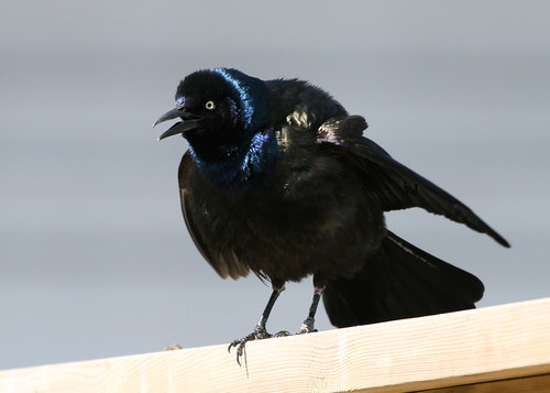 common grackle calling | by qmnonic