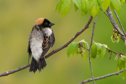 Bobolink | by Jim McCree