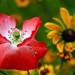 poppy close up