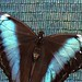 captured morpho with shimmering wings, showing his innocence by iridescence