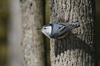 white-breasted nuthatch | by qmnonic