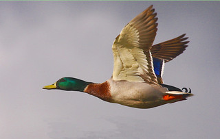 And another Mallard | by Birds of the South