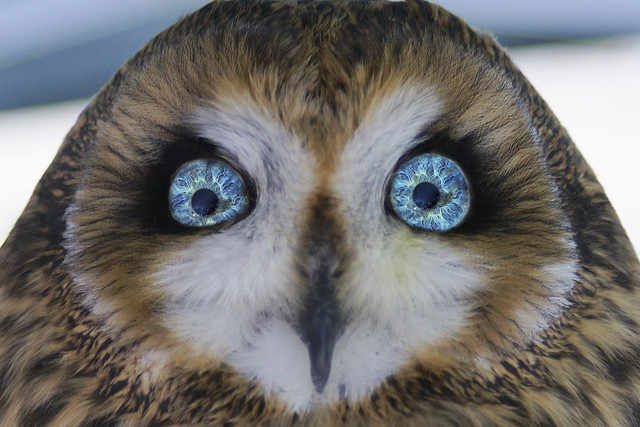owl eyesight