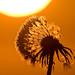 1106_0687 Sunrise dandelion