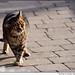 The Blarney Cat