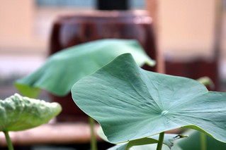 Lotus | by DufferLong