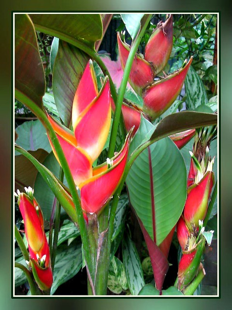 Heliconia Stricta Carli S Sharonii Stunning Color And