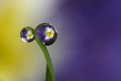 Blue and yellow dewdrop refraction | by Lord V