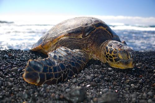 Sunbathing Sea Turtle,...