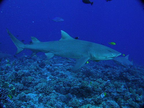Another lemon shark | by jeffbyrnes
