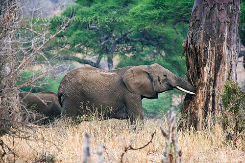 Elephant Eating The Wood And Bark Of A Baobab Tree  Flickr-7976