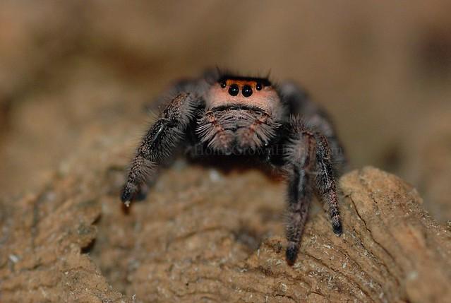 Regal Jumping Spider Phidippus Regius Hghjim Flickr