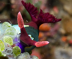 Nudibranch and Soft Corals | by - drsteve -