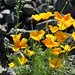 poppies on the rocks