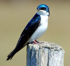 Tree Swallow | by Hal Trachtenberg