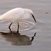 Egret fishing