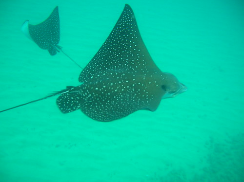 Maui - Black Rock (Ka'anapali) - Eagle Rays | by screamingbrocoli