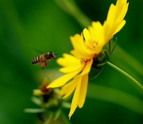 Kumbang dan Bunga | Jika aku kumbangnya, dikaulah bunganya ...