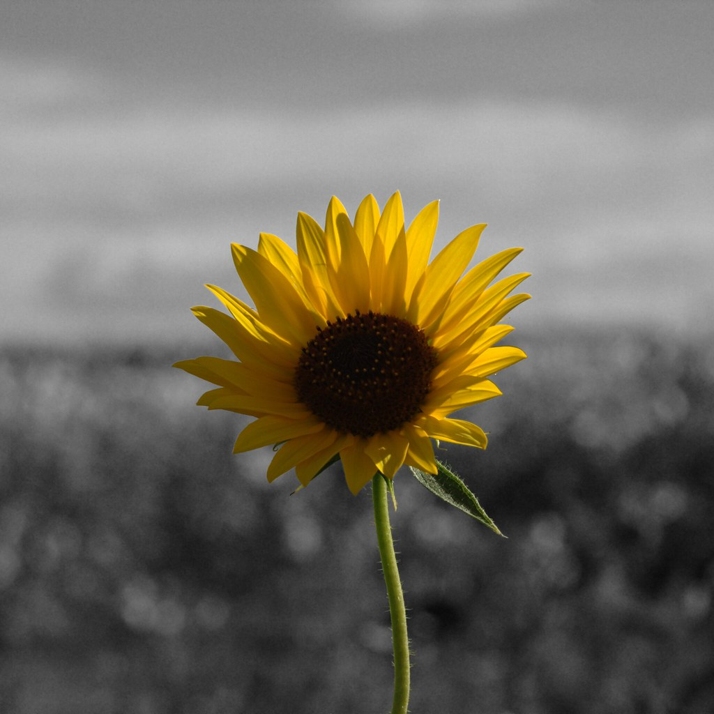 Sunflower Black And White Background Sunflower On A Blac Flickr