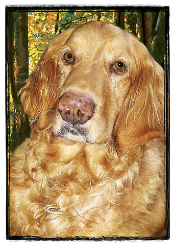 "Golden Retriever  ""Jubal"" 