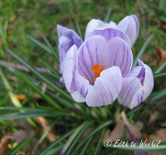Crocus | by tetabiakti