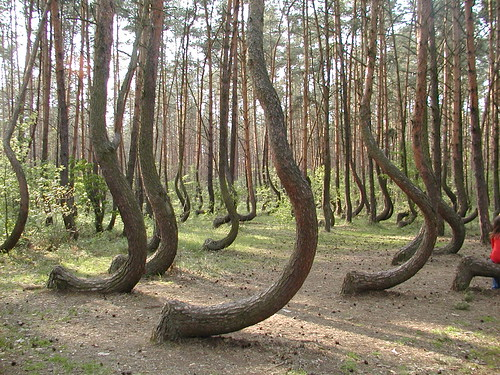 Crooked Forest, Gryfino - Poland | by tapenade