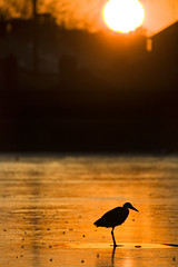 Heron Sunset | by fotofacade