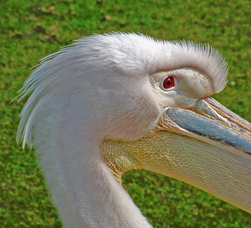 pelican close-up @ fota | by silyld
