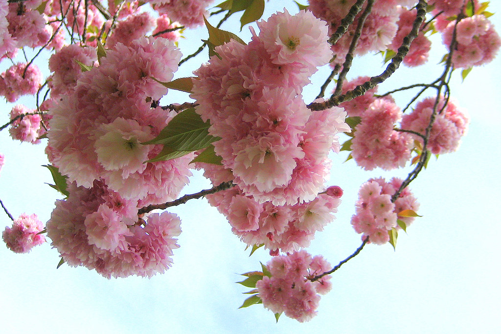 Japanese Cherry Tree Facts Home Guides SF Gate