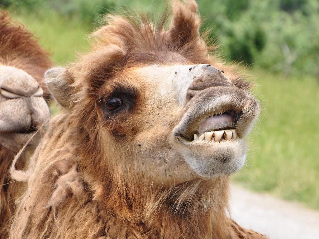 bactrian camel smiling bactrian camel origin mongolia