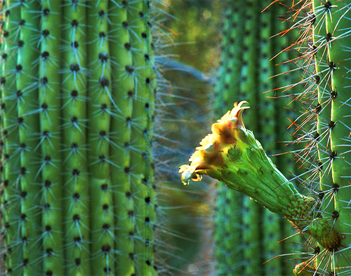 Cactus Flower | by howardpennphoto