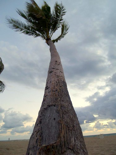 Ft. Lauderdale Palm Tree | by AssafLevy
