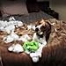 Stuffed animals and beagles don't mix
