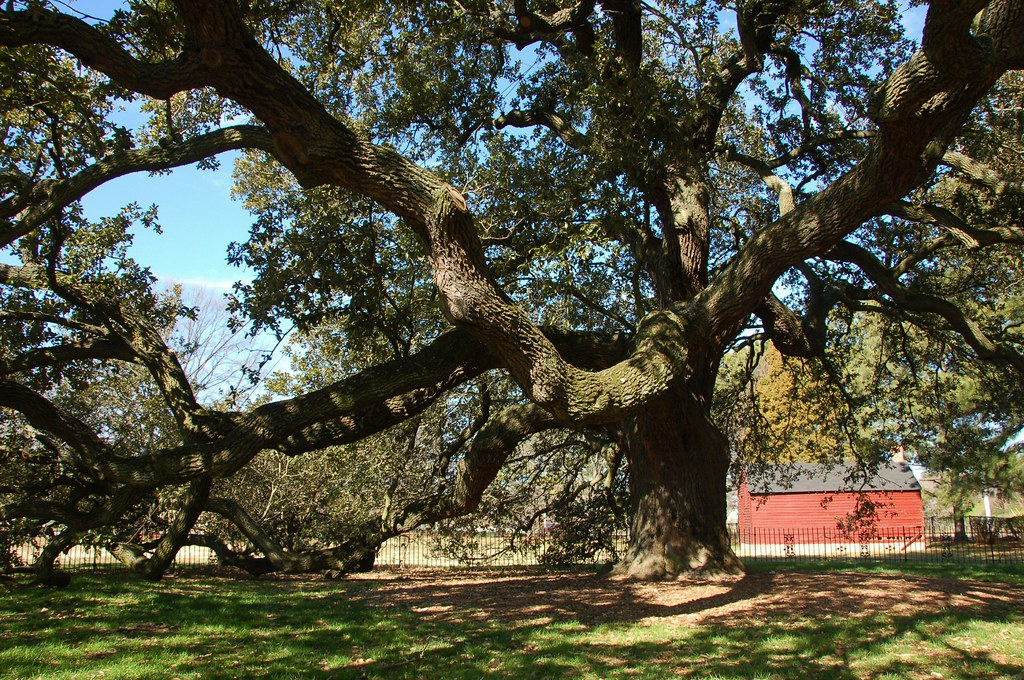 Emancipation Oak at Hampton University | Live Oak ...