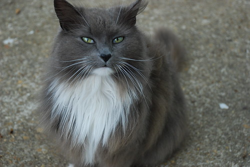 English Longhair Cat For Sale In Ct