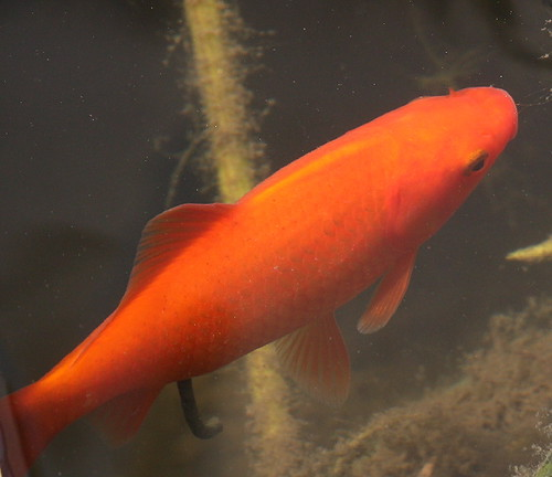 Orenji ogon koi cyprinus carpio haematopterus for Cyprinus carpio koi