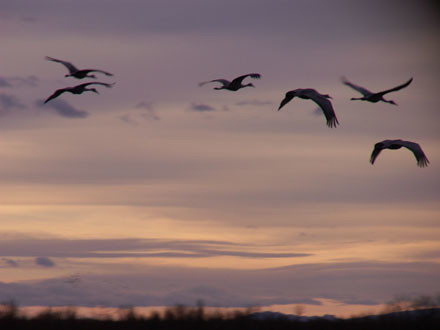Cranes Flying At Dawn | by jimwilce
