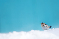 Snow Bunting | by Imapix