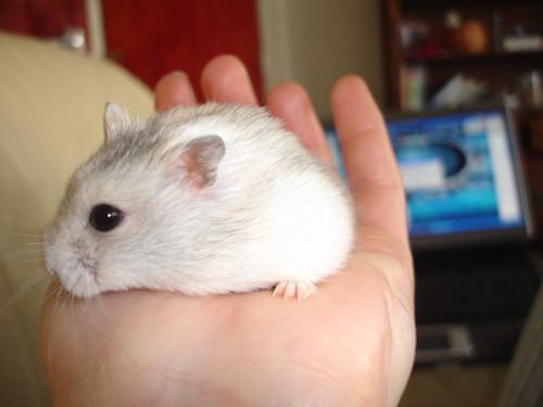 Dwarf Russian Hamster Winter White | cdrussorusso | Flickr