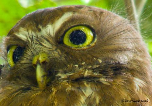 Philippine Hawk-Owl (Ninox philippensis philippensis) Sigm ...
