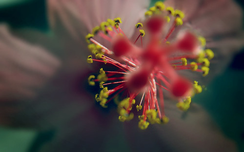Hibiscus Fireworks | by lito.lapida